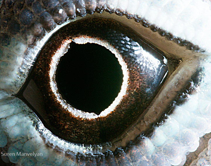 anolis lizard